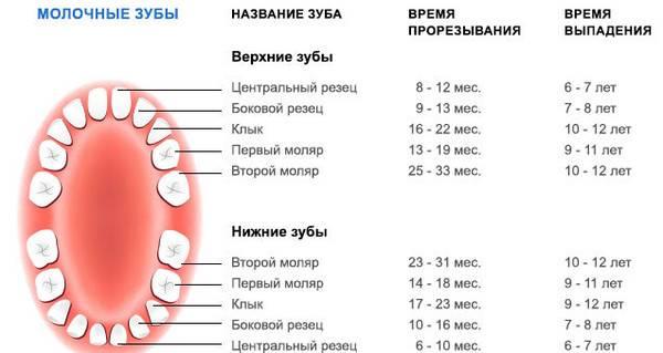 Когда выпадают молочные зубы у детей - схема и возраст