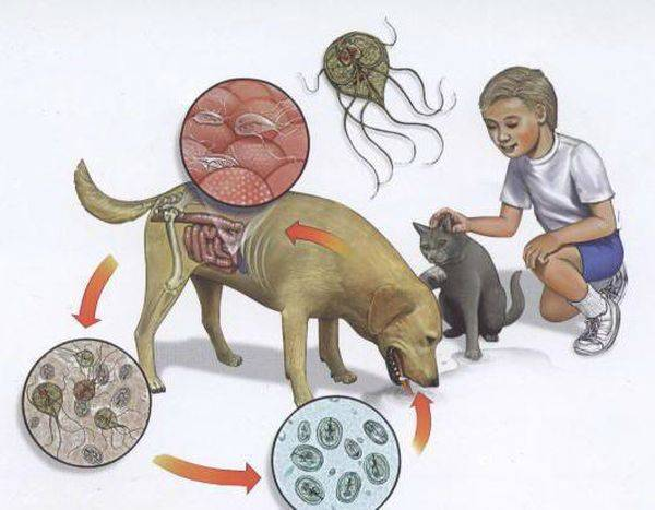 Дирофиляриоз: симптомы, подкожный и внутренний дирофиляриоз у человека, лечение и профилактика