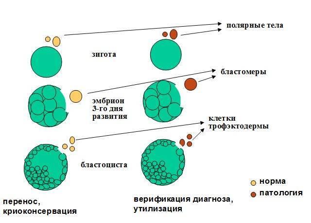 Культивирование эмбрионов в клинике gms эко – цены на услугу