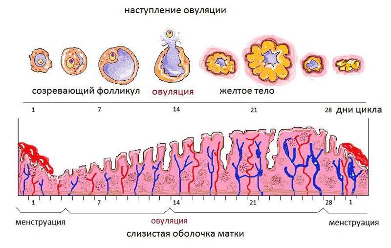 Экстракорпоральное оплодотворение. шаг за шагом