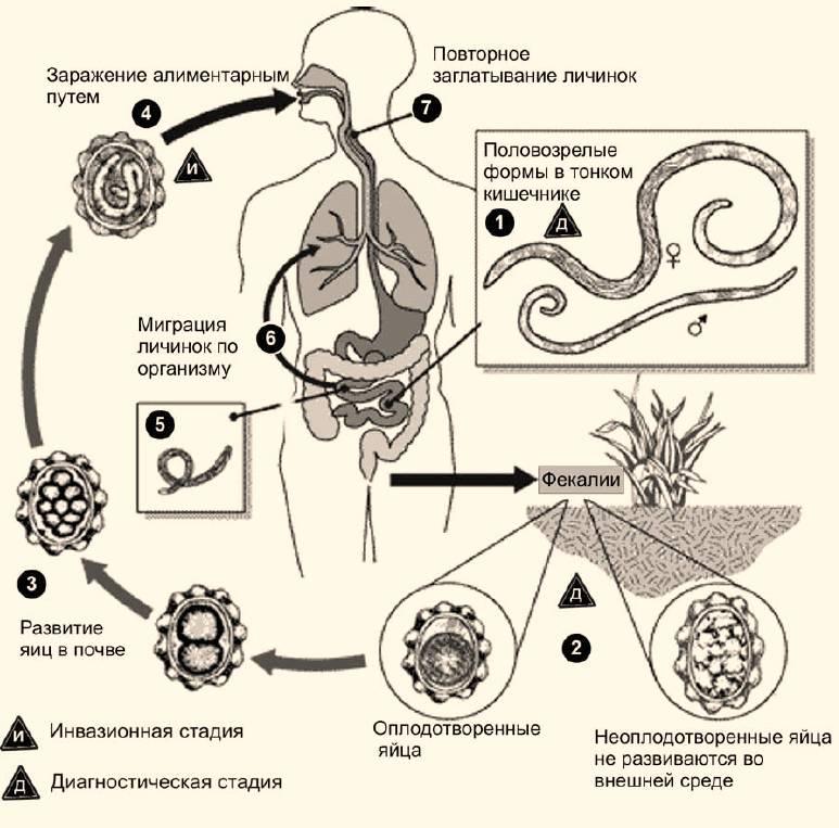 Антитела к аскаридам lgg, ascaris igg колич.