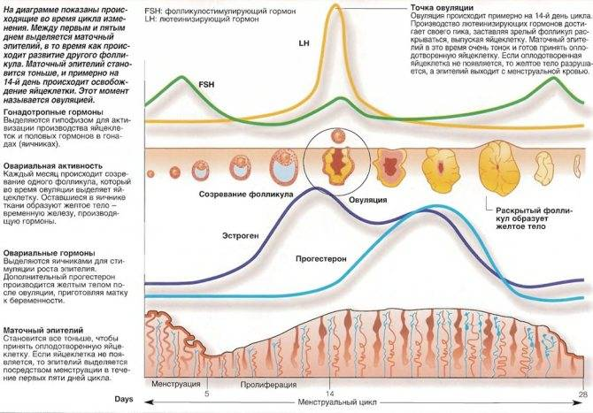 Когда размер имеет значение. толщина эндометрия, как предиктор исходов беременности при эко-икси.