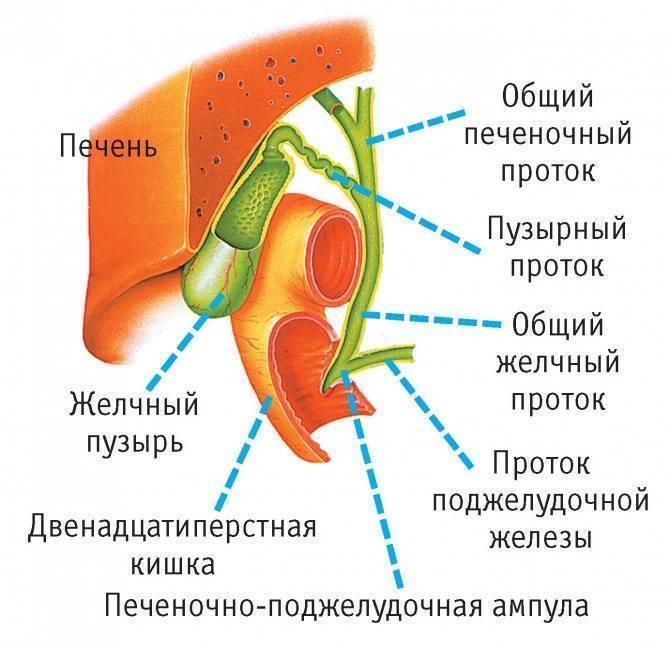 Холестероз желчного пузыря. этиология, диагностика и лечение дисфункций желчевыводящей системы