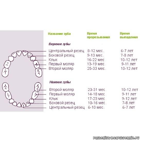 Порядок прорезывания молочных и постоянных зубов у детей