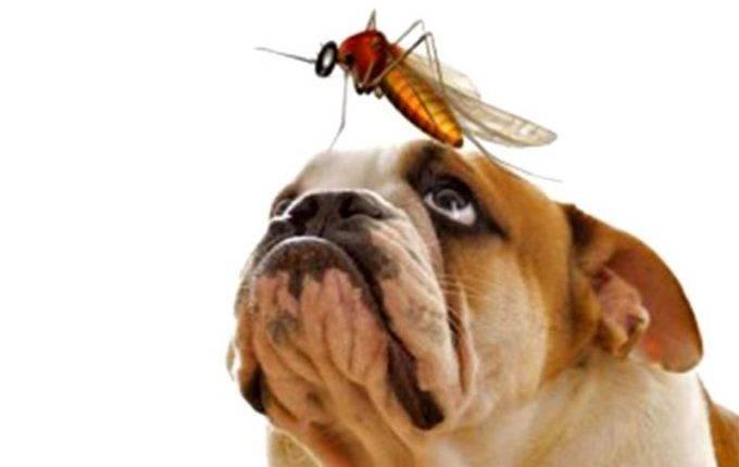 Дирофиляриоз у собак и кошек. диагностика, лечение в рб