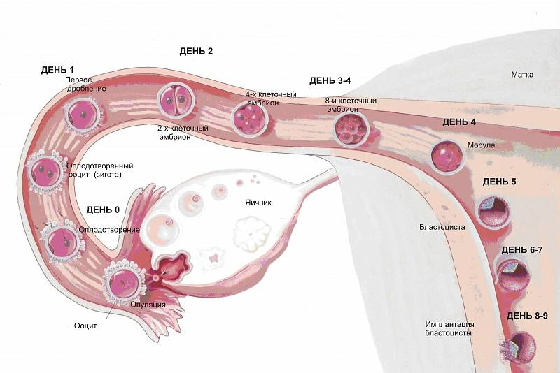 Сколько эмбрионов подсаживают при эко?