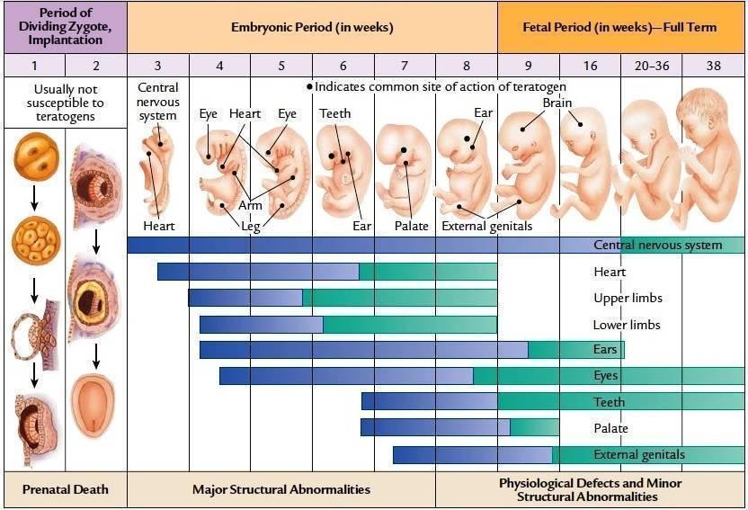 Вторая неделя беременности: признаки, что происходит с животом, показывает ли тест, фото узи