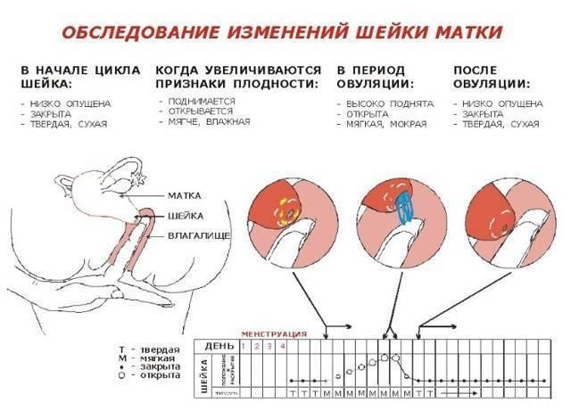 Болит живот во время овуляции | университетская клиника в спб