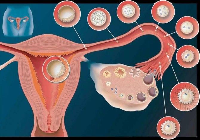 Время быть осторожной: критические периоды беременности на ранних сроках