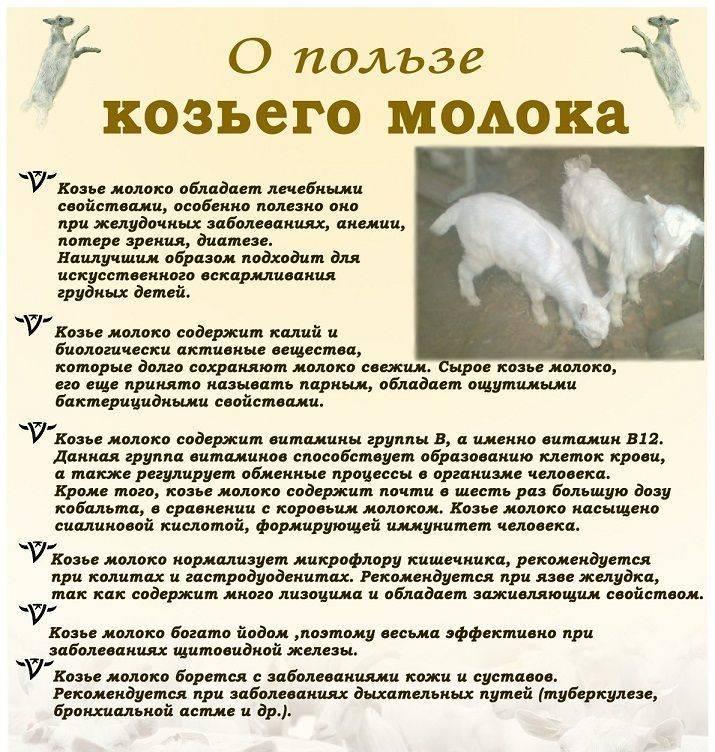 С какого возраста давать козье молоко грудничку? польза и вред продукта по мнению комаровского. когда можно давать молоко коз и как его разводить для детей до года?