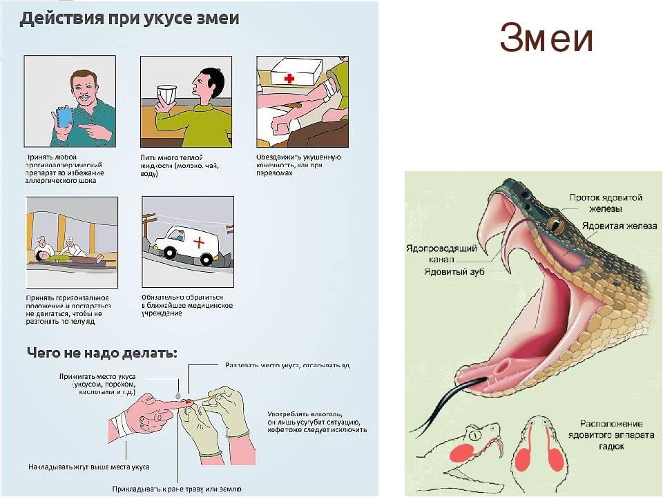Укус гадюки обыкновенной: симптомы, последствия, первая помощь   компетентно о здоровье на ilive