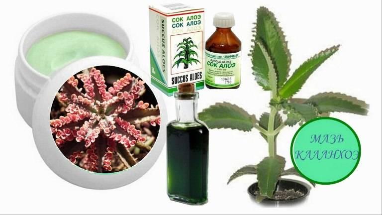 6 полезных свойств каланхоэ при лечение насморка