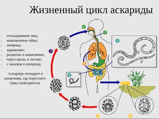 Аскариды у детей. симптомы и лечение, народные средства, препараты, эффективные советы врачей, комаровского