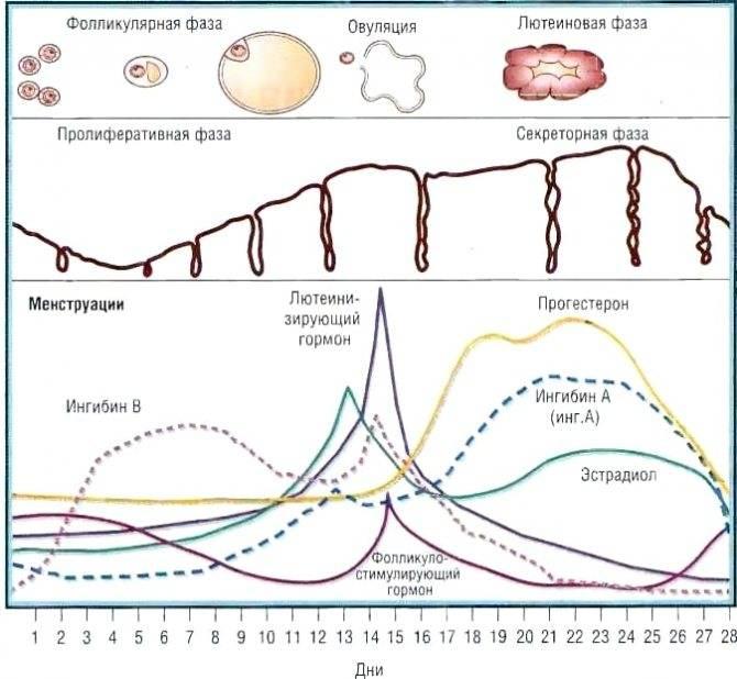 Признаки овуляции - боли, базальная температура и выделения   овуляция и беременность