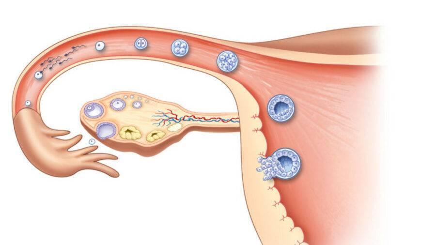 На какой день происходит имплантация после овуляции? через сколько дней эмбрион прикрепляется к матке? может ли быть имплантация плодного яйца на 14 день после овуляции?