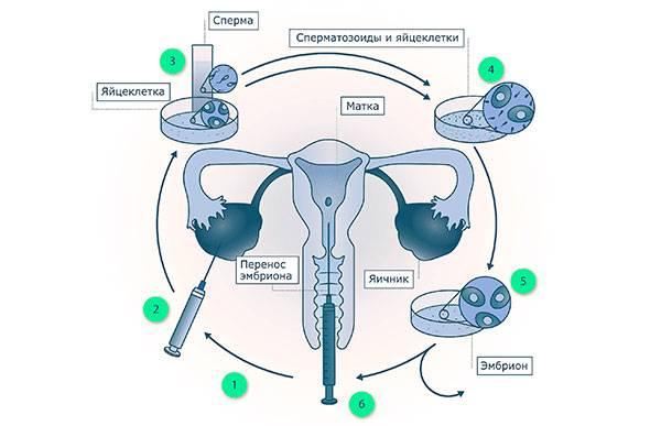 Культивирование эмбрионов