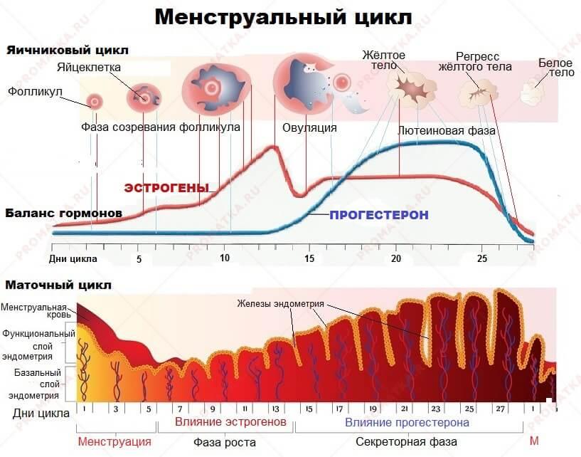 Менструальный цикл – что это такое, основные симптомы и фазы периода менструации   нормы дней месячных, интенсивность кровотечений   o.b.®
