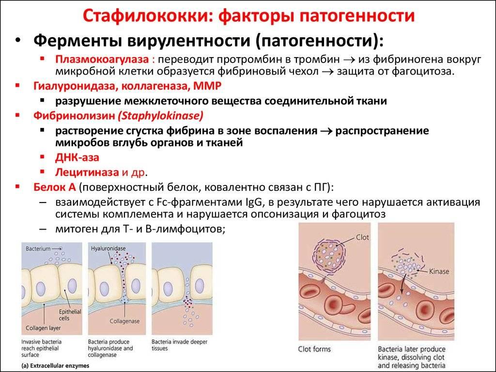 Посев на золотистый стафилококк (s. aureus)