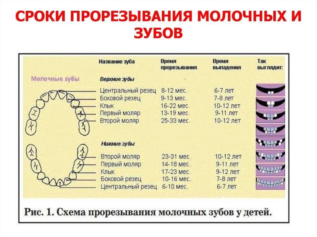 Сроки прорезывания молочных и постоянных зубов