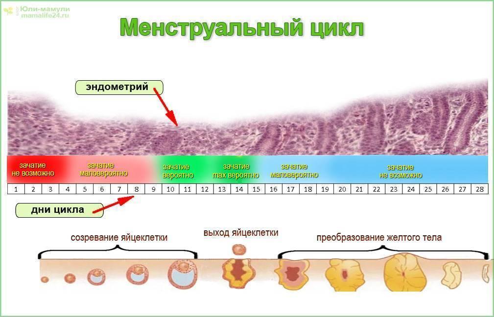 Тонкий эндометрий и беременность: вероятность зачатия и вынашивания ребенка, норма толщины в цикле