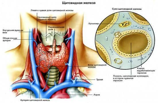 Узи щитовидной железы: кому показано, как проводится