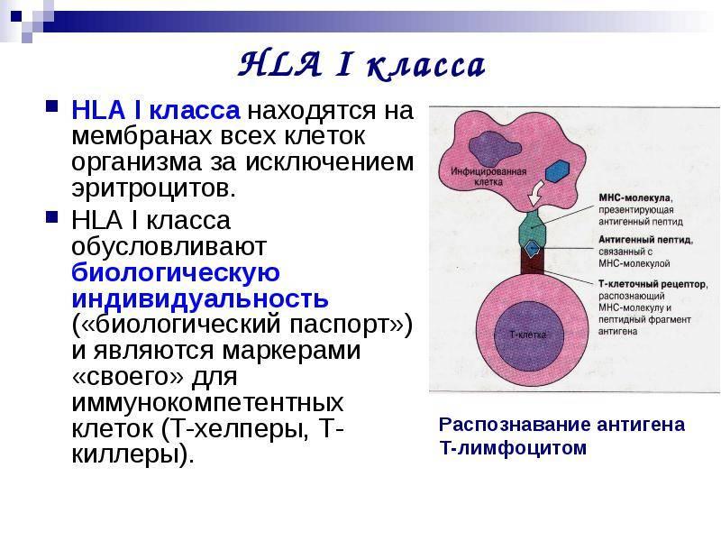 Hla-типирование и замершие беременности. гаплотипы hla и вынашивание беременности