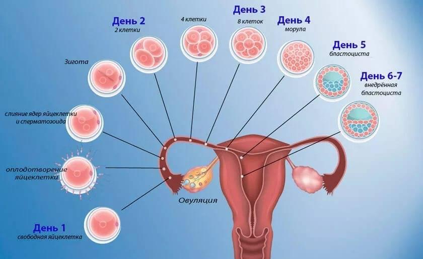 Процесс эко: от стимуляции суперовуляции до переноса и развития эмбриона   день имплантации эмбриона