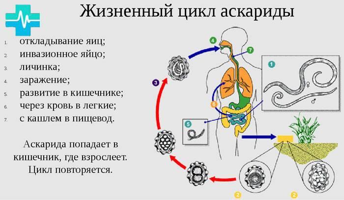 Аскаридоз - инфицирование, современная диагностика, лечение и профилактика болезни :: polismed.com