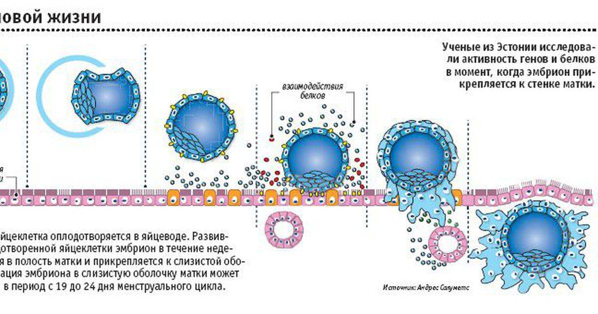 Симптомы имплантации плодного яйца, период, когда происходит имплантация плодного яйца