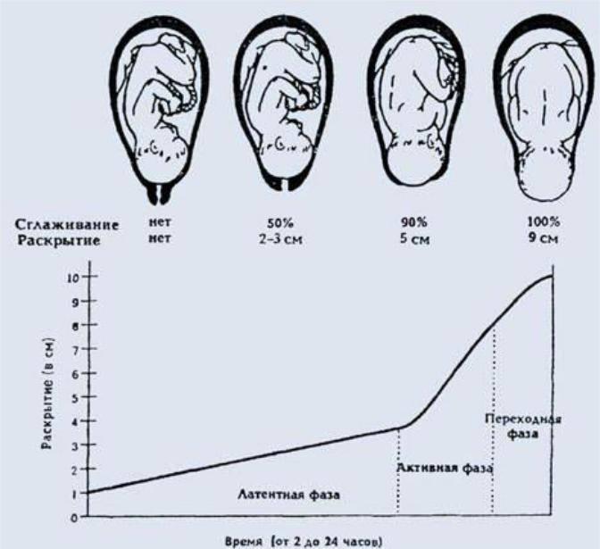 Шейка матки, раскрытие 2 пальца когда рожать, стадии раскрытия, анатомические особенности