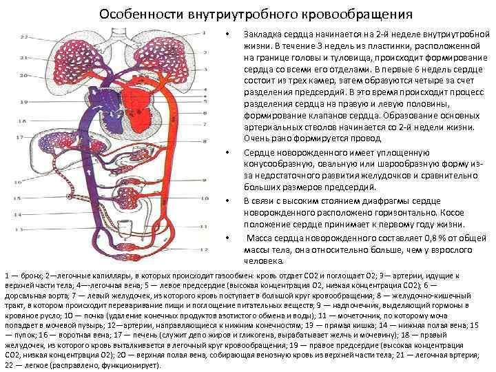 § 26. онтогенез органов кровеносной системы [1979 курепина м.м., воккен г.г. - анатомия человека: учебник для биологических факультетов педагогических институтов]