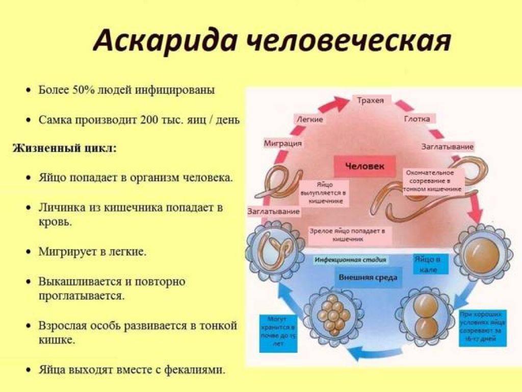 Аскаридоз формы заболевания - про паразитов