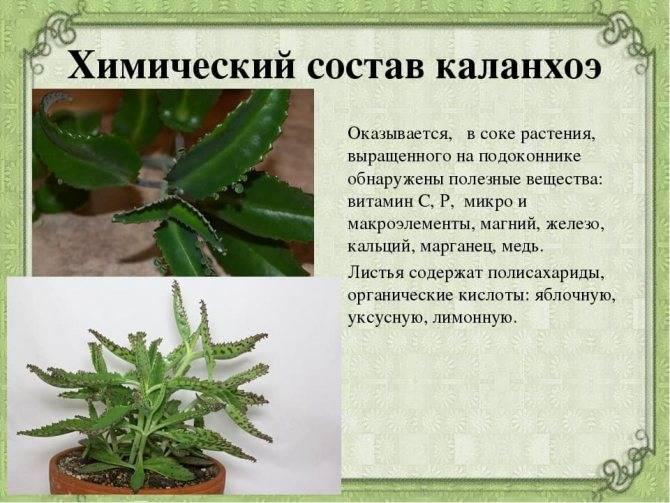 Что лечит каланхоэ — применение уникального растения
