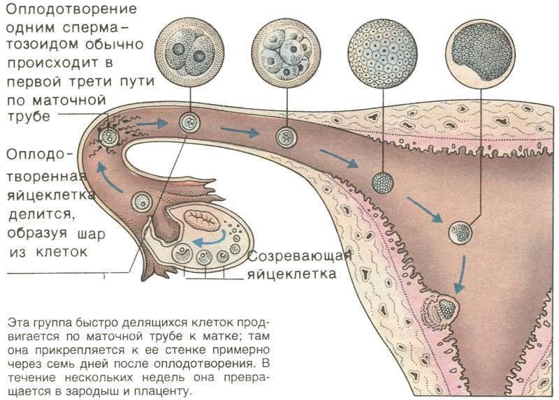 Через сколько дней после акта происходит зачатие: процесс оплодотворения, необходимое время для совершения зачатия