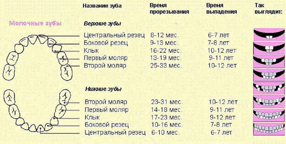 Схема прорезывания постоянных зубов у детей: порядок и сроки смены молочных единиц