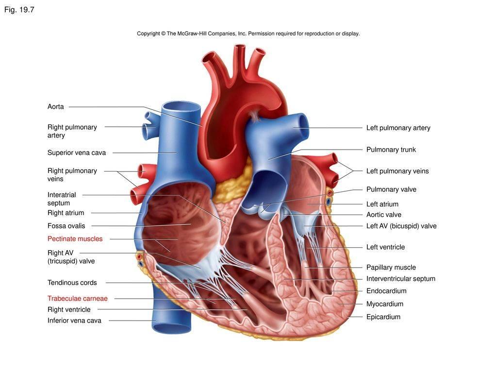 Причины и симптомы дмжп — чем опасен дефект межжелудочковой перегородки