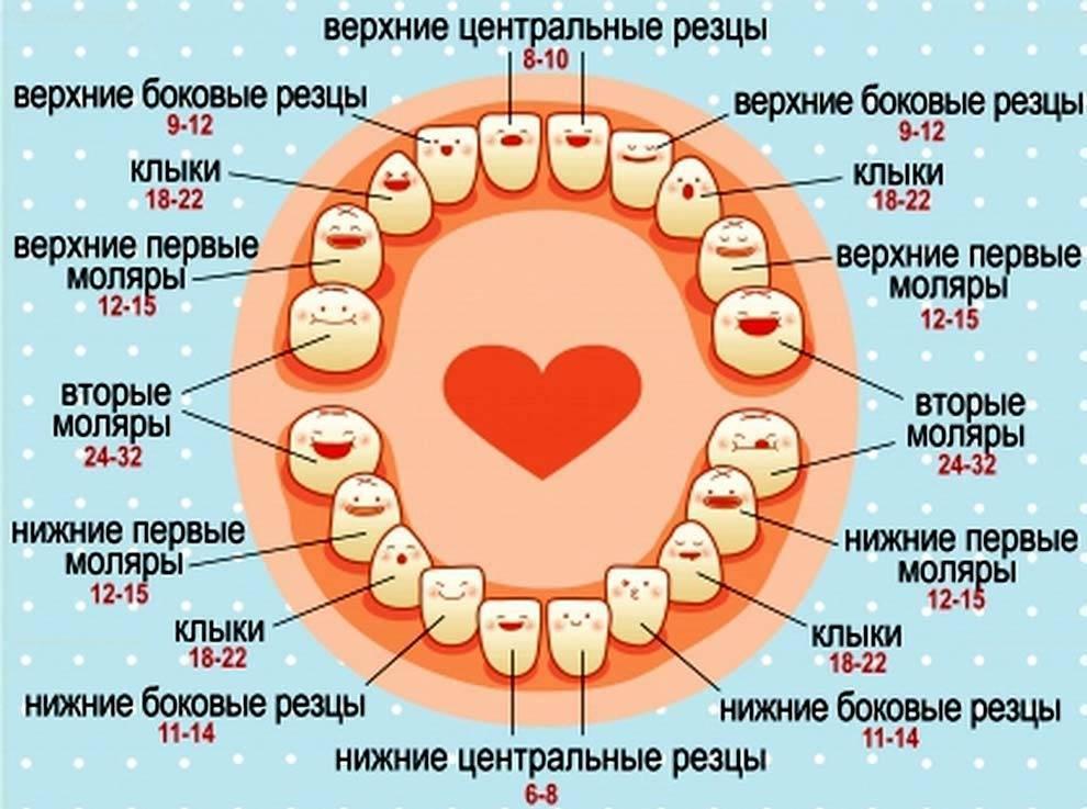 Прорезывание молочных зубов у детей: сроки, схема, порядок появления