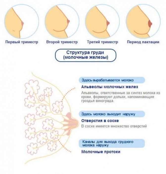 Растения, повышающие выработку грудного молока - часть 3 | университетская клиника